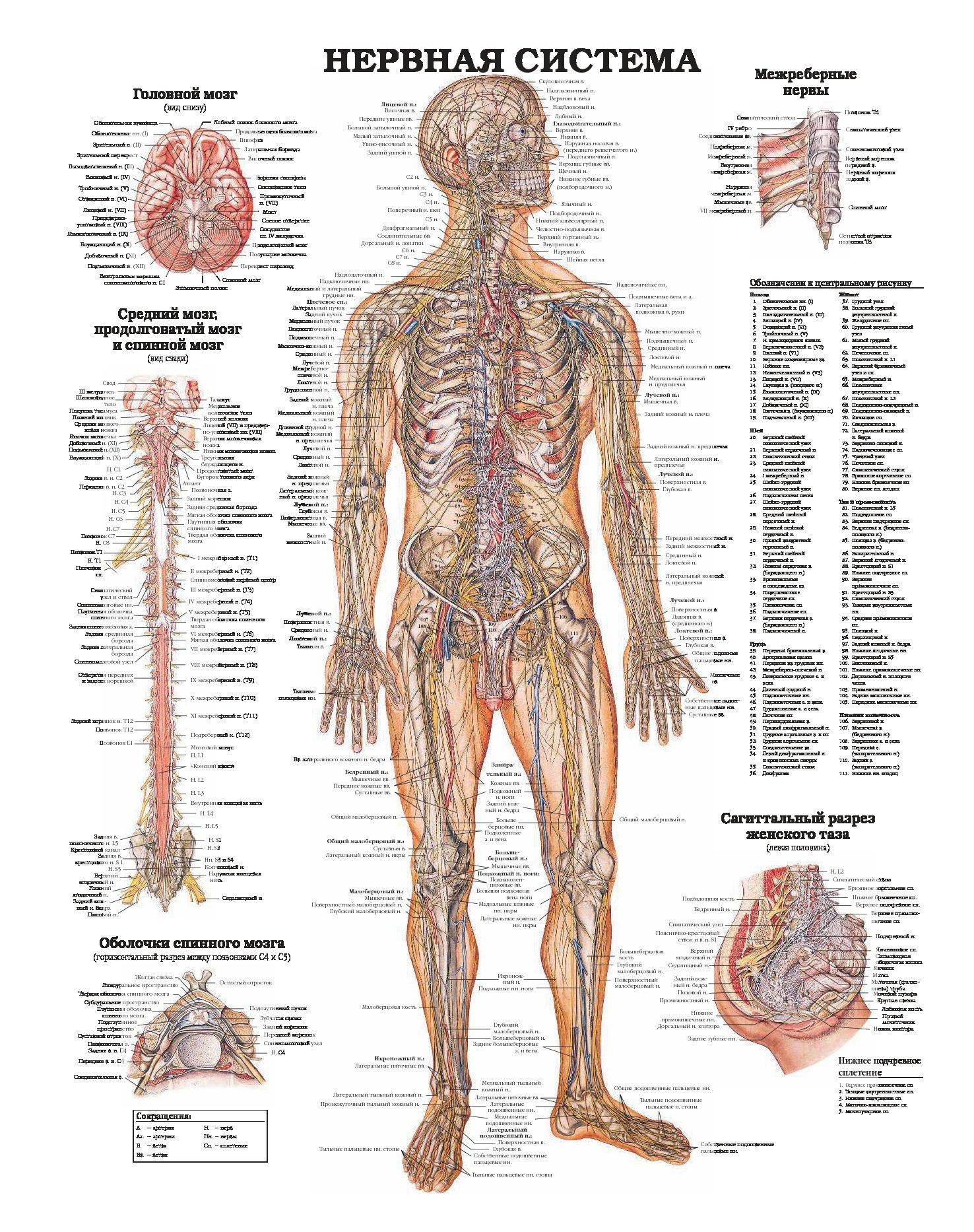 купить книгу анатомия человека системы и органы махиянова е